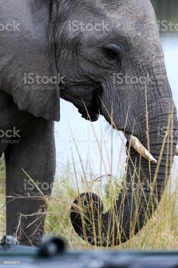 African Elephants in Kruger National Park, South Africa stock photo