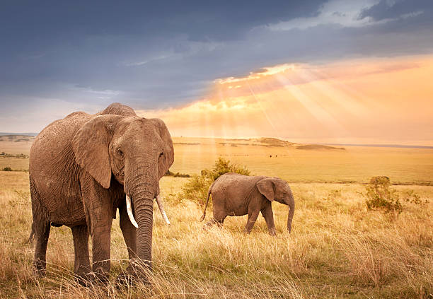 afrikanische elefanten im sonnenuntergang - safari tiere stock-fotos und bilder