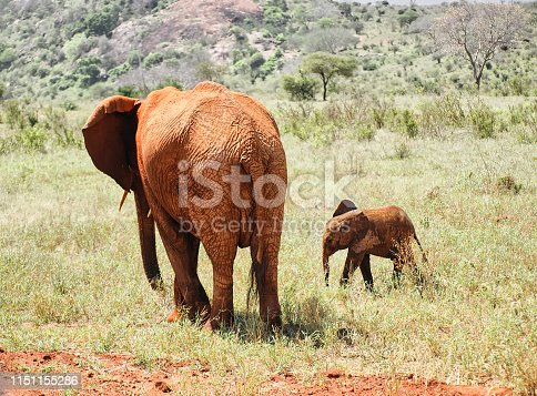 African elephants in the African savanna, in the Tsavo national park of Kenya, during an open-air safari vehicle