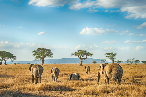 istock African Elephants in the plains of Serengeti, Tanzania 1141711907