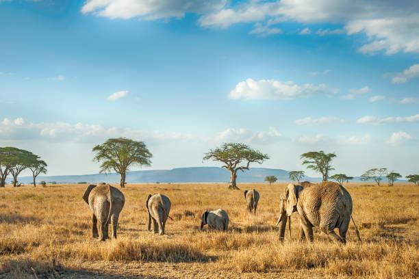 African Elephants in the plains of Serengeti, Tanzania stock photo
