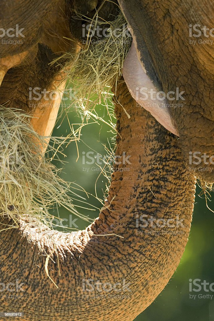 African elephant's mouth royalty-free stock photo