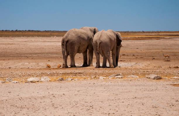 African Elephants. stock photo