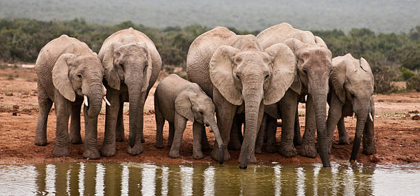 African Elephants  african elephant stock pictures, royalty-free photos & images