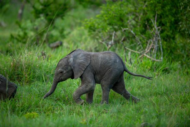 African Elephants – zdjęcie