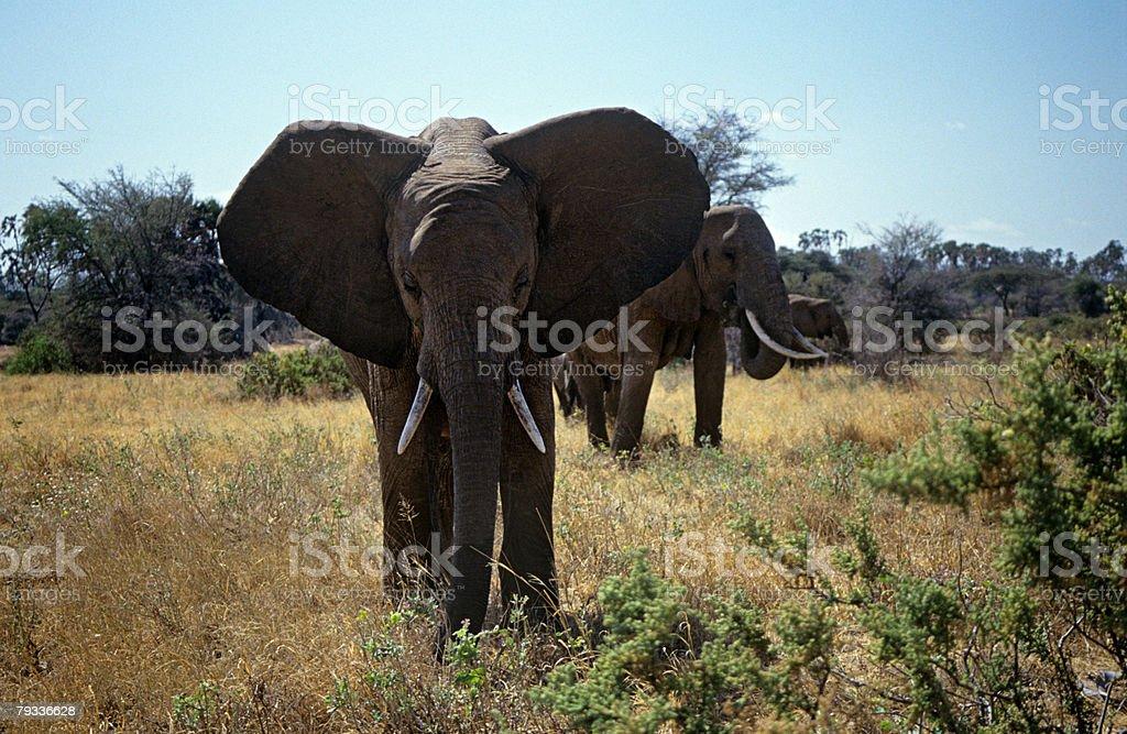 アフリカの象 ロイヤリティフリーストックフォト