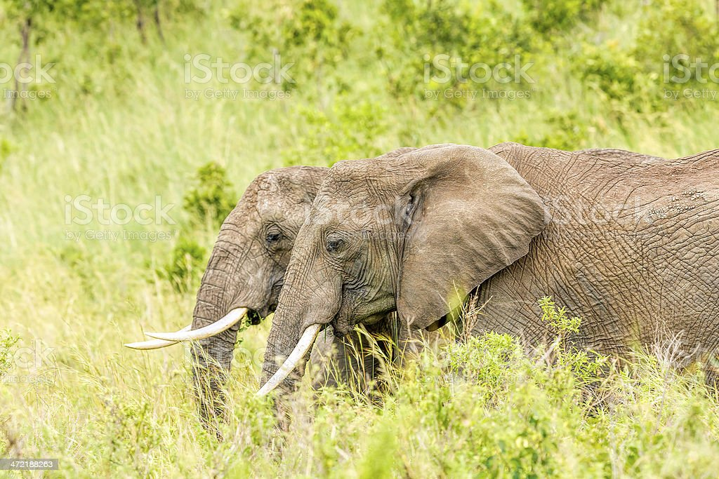 African Elephants - two buddies royalty-free stock photo