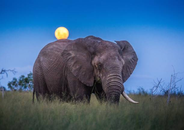 African elephants under full moon at the savvanah at Hlane Royal National Park, Swaziland stock photo