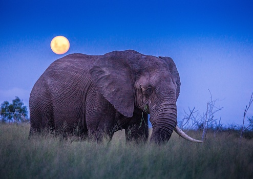African Elephants Under Full Moon At The Savvanah At Hlane Royal National Park Swaziland Stock Photo - Download Image Now