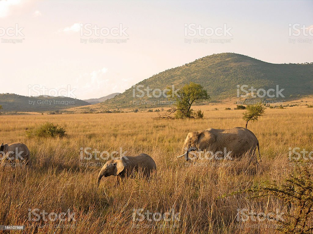 African Elephants walking royalty-free stock photo