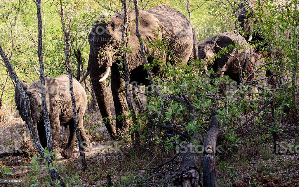 African elephants walking through the forest stock photo