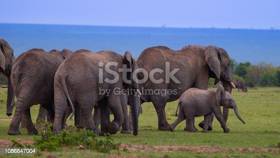 African Elephants with babies