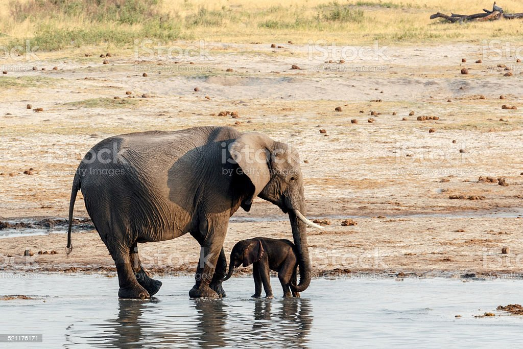 African elephants with baby elephant drinking at waterhole stock photo