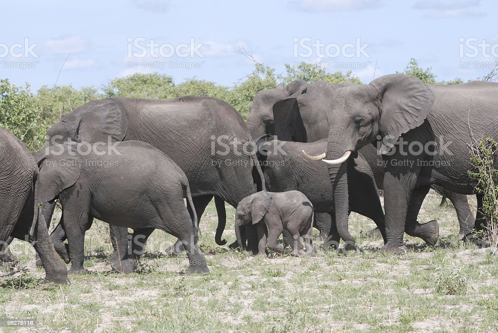 African elephants with baby royalty-free stock photo
