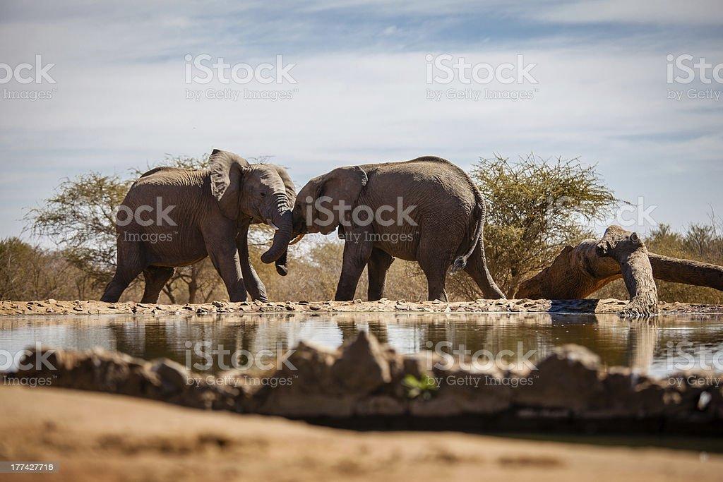 African elephants wrestling stock photo