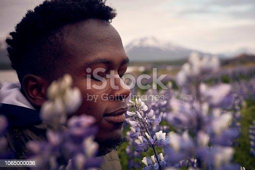 Icelandic summer with blooming lupines. Man enjoying nature