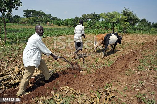 A farmer plows his field in Uganda as his son helps guide the team. The land is rich but lack of water is always a concern.