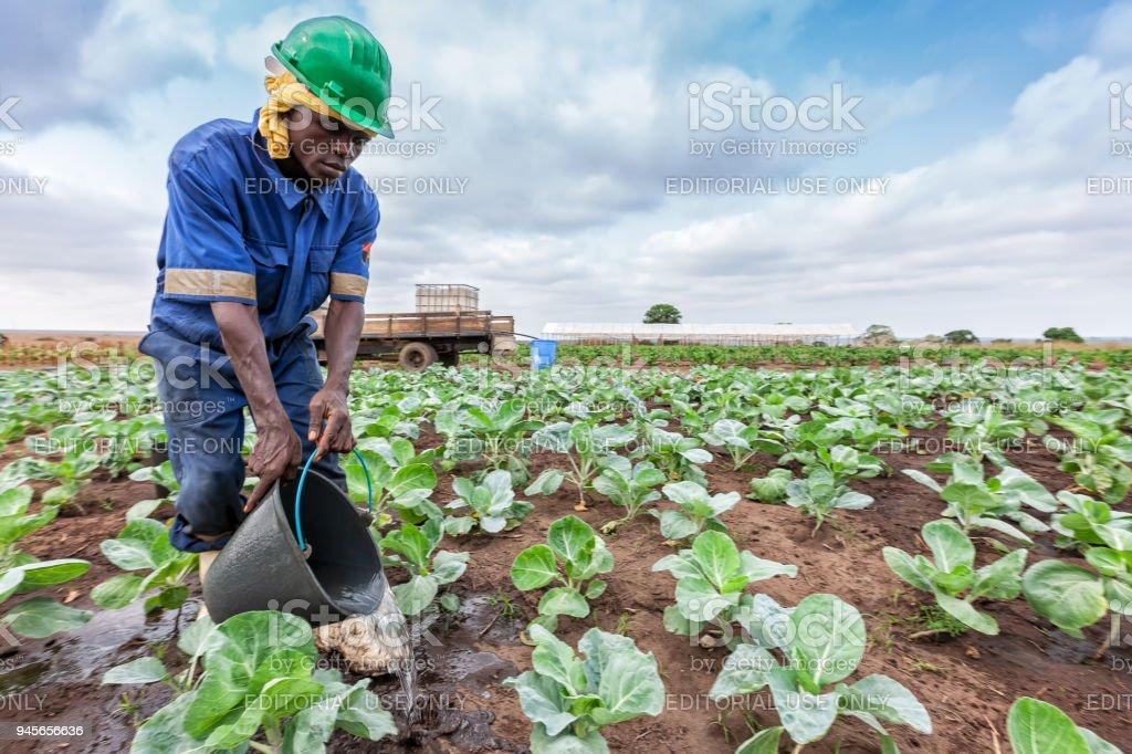 CABINDA/ANGOLA - 09 JUN 2010 - African farmer watering cabbage planting, Cabinda. Angola. stock photo