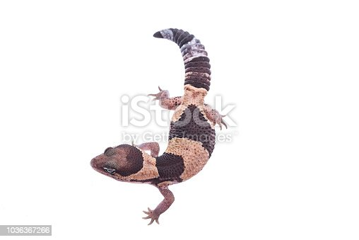 Hemitheconyx Caudicinctus isolated white background