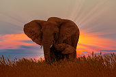 African female elephant with baby at the sunrise in wild