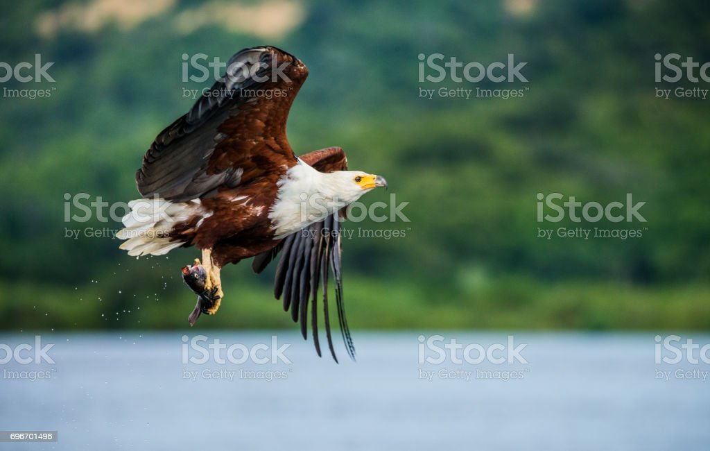 African fish eagle in flight with the fish in its claws. East Africa. Uganda. stock photo