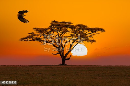 African Fish Eagle - preying and  Acacia Tree - umbrella thorn acacia Tree and sunset / sunrise