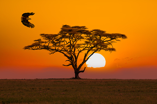 African Fish Eagle - preying and  Acacia Tree - umbrella thorn acacia Tree and sunset / sunrise