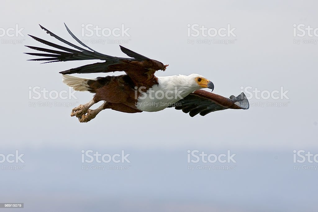 African Fish Eagle royalty-free stock photo