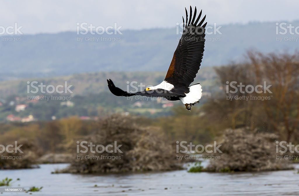 African Fish Eagle - preying royalty-free stock photo