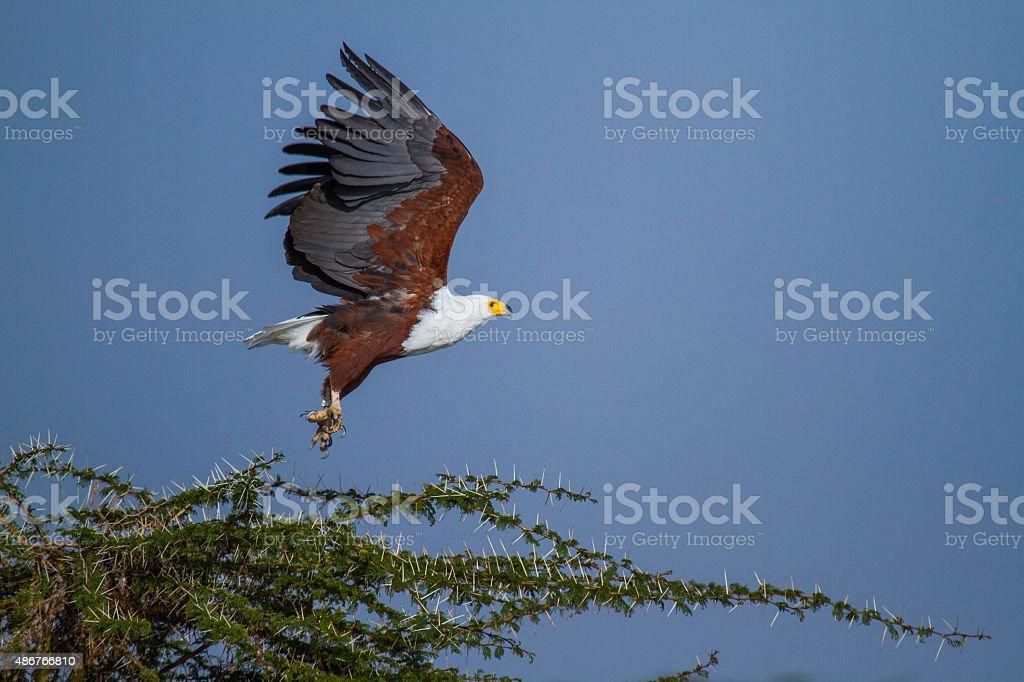 Haliaeetus Vocifer decolar - foto de acervo