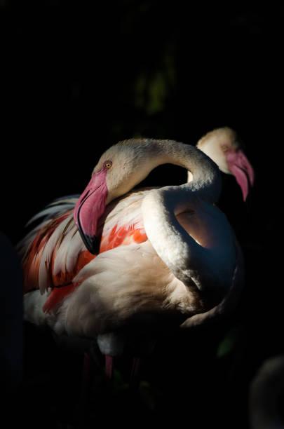African Flamingo stock photo