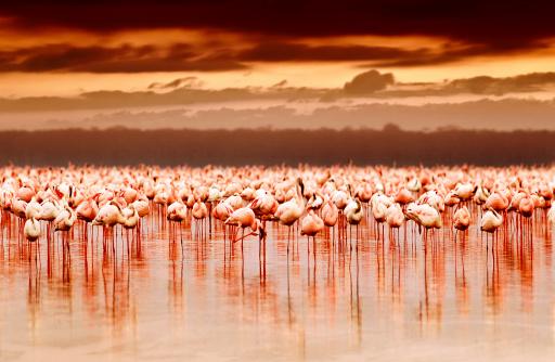 African flamingos in the lake over beautiful sunset, flock of exotic birds at natural habitat, Africa landscape, Kenya nature, Lake Nakuru national park reserve