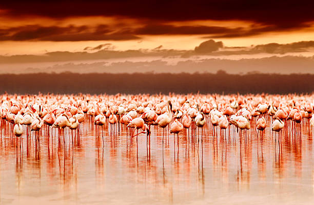 african flamingos on sunset - wildplassen stockfoto's en -beelden
