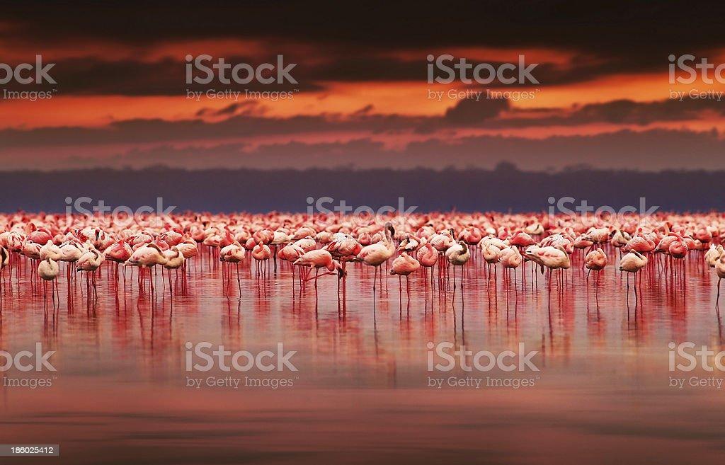 African flamingos on sunset stock photo