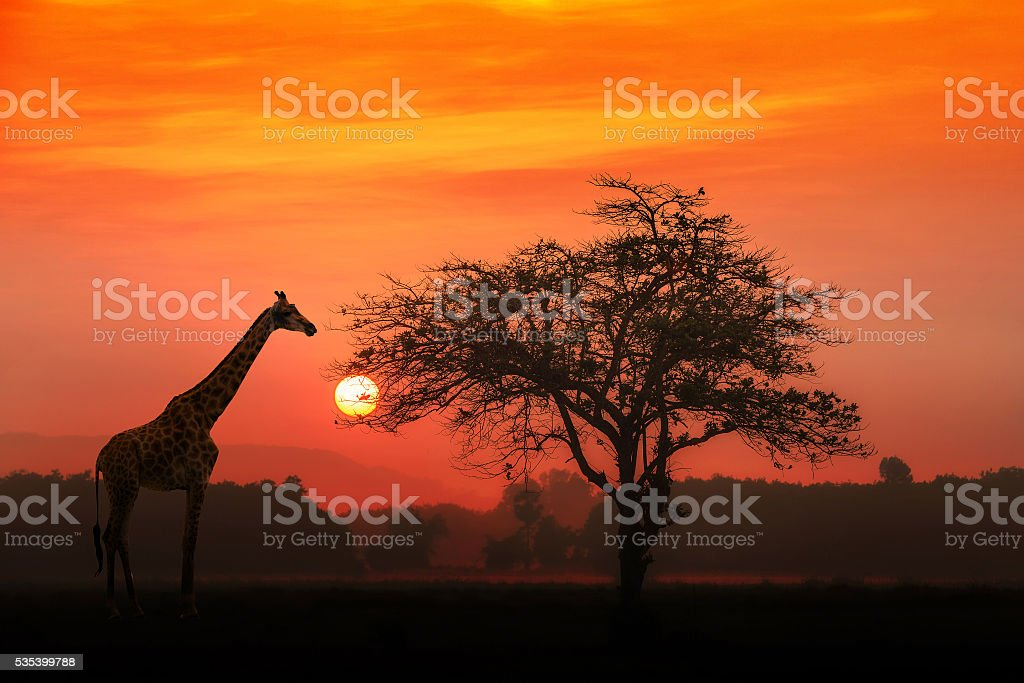 African Giraffe at sunrise stock photo