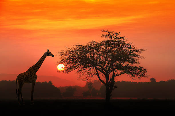 African Giraffe at sunrise African Giraffe at sunrise with alone tree east africa stock pictures, royalty-free photos & images