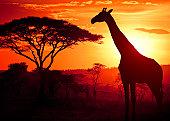 Three masai giraffe against classic safari backdrop of the Masai Mara, Kenya