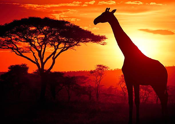 African Giraffe at Sunset stock photo
