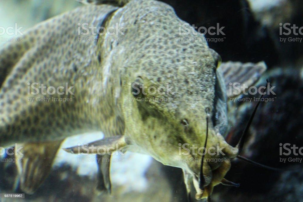 Fotografía de Pez Gato Africano Jirafa Nadar Bajo El Agua y más ...