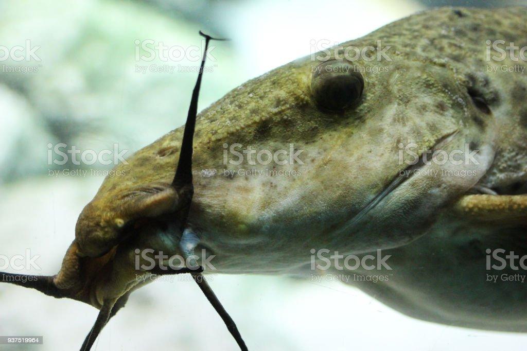 Pez Gato Africano Jirafa Nadar Bajo El Agua - Fotografía de stock y ...