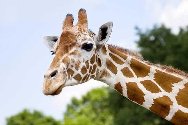 African Giraffe - Horizontal Head Shot stock photo