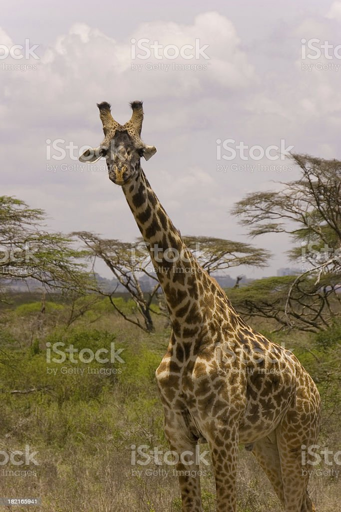 African Giraffe royalty-free stock photo