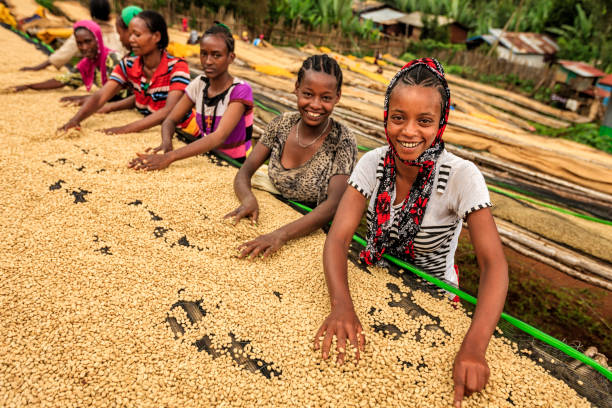 African girls and women sorting coffee beans, East Africa stock photo