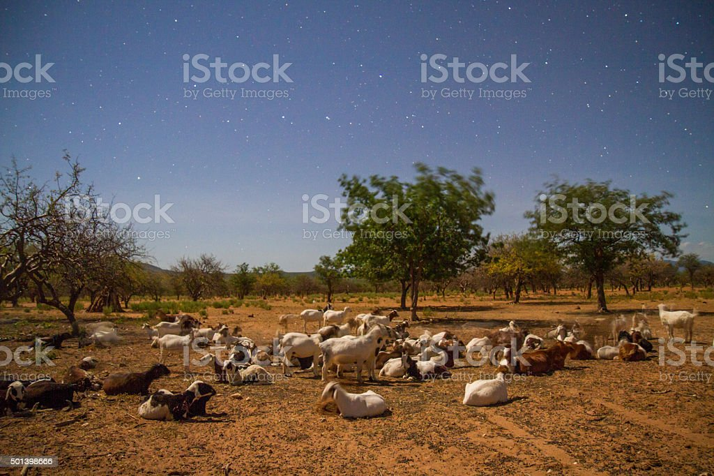 African Goats At Night stock photo