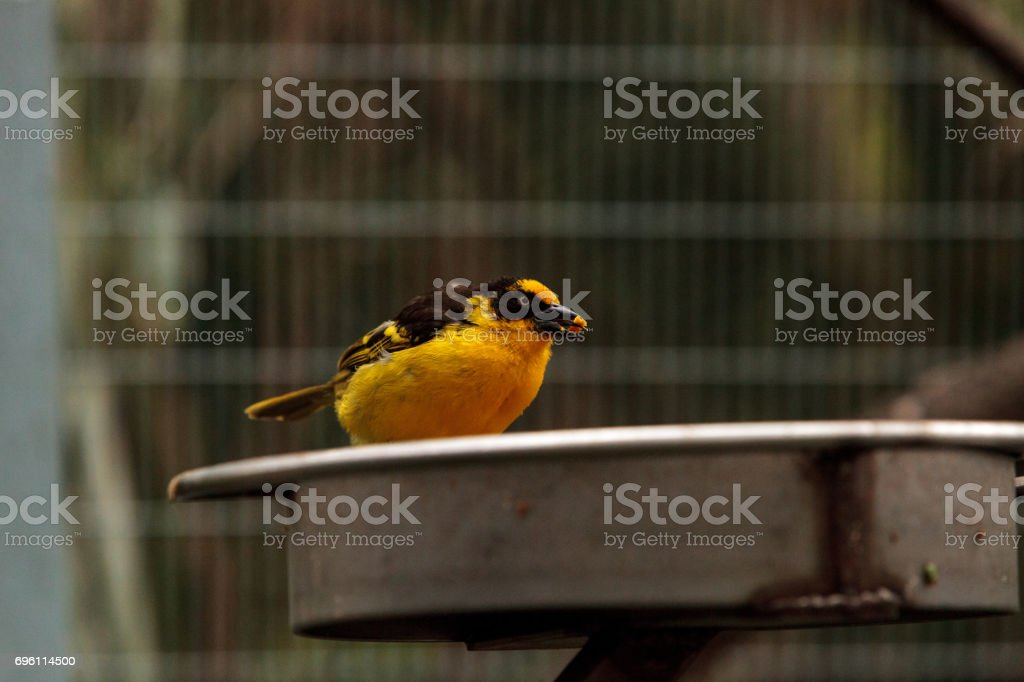 African golden oriole Oriolus auratus stock photo