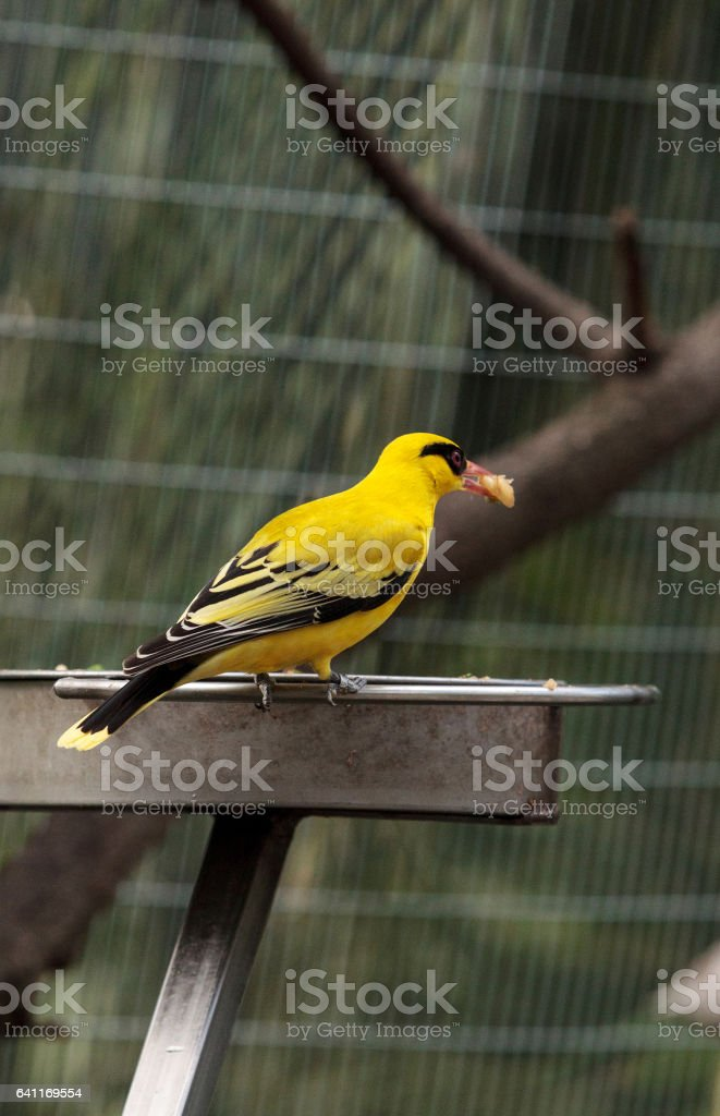 African golden oriole stock photo