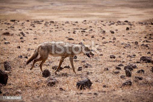 African golden wolf (Canis anthus) hunting at Ngorongoro National Park, crater of an ancient volcano