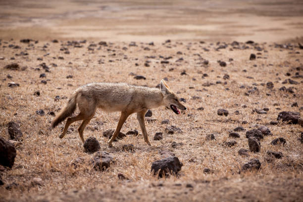 African golden wolf (Canis anthus) African golden wolf (Canis anthus) hunting at Ngorongoro National Park, crater of an ancient volcano steppe stock pictures, royalty-free photos & images