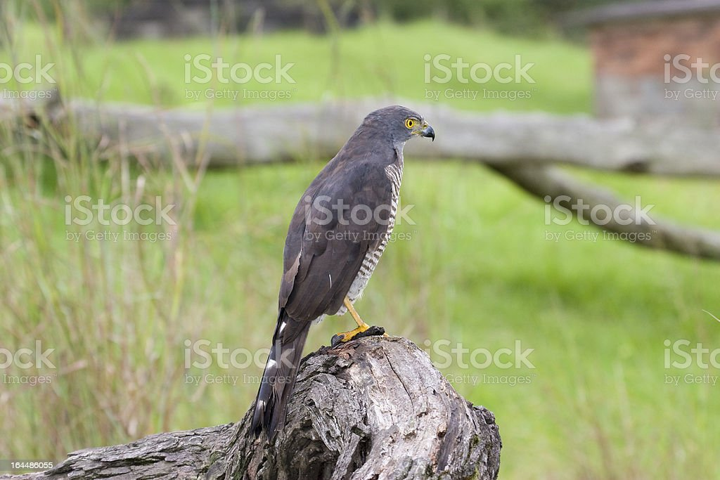 African Goshawk perched on stump in South Africa stock photo
