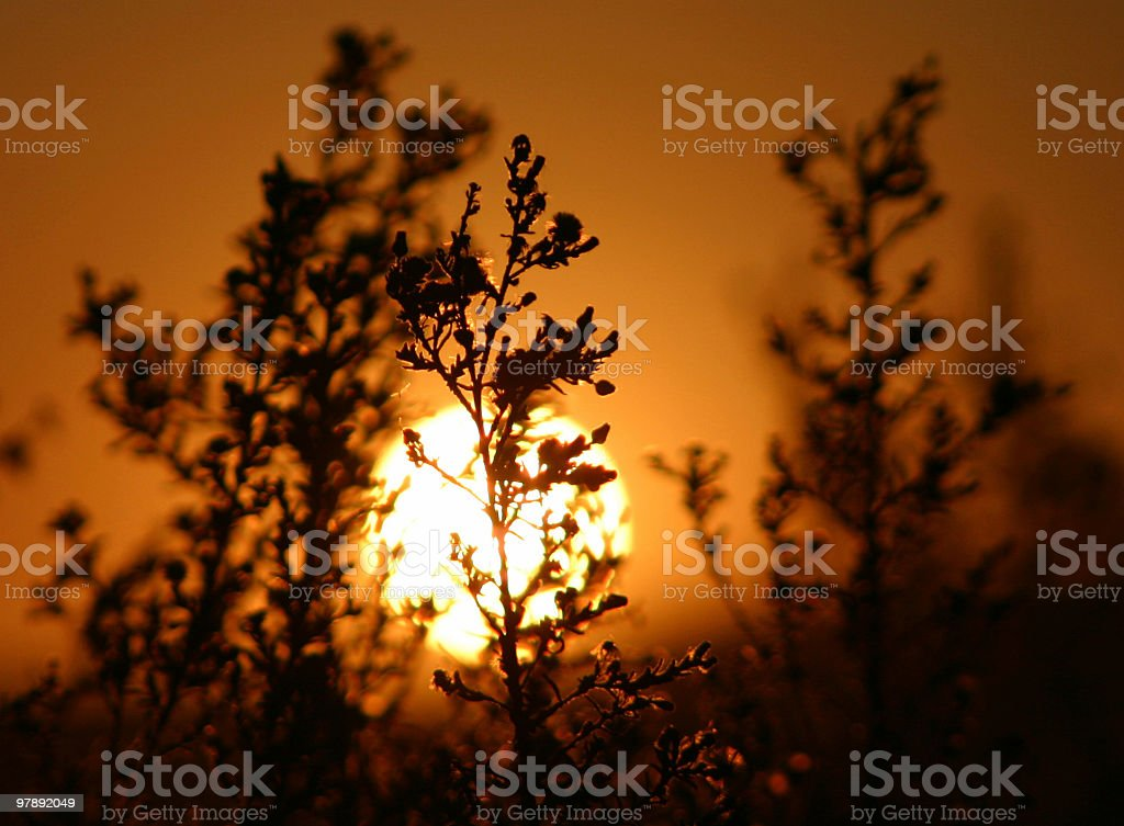African Grass Silhouette royalty-free stock photo